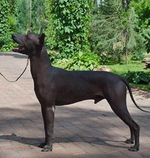 мексиканская голая собака (ксолоитцкуинтли) Чимали Текуани