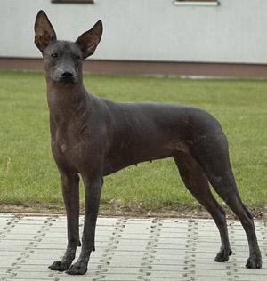 мексиканская голая собака (ксолоитцкуинтли) Текуани Идея Фикс