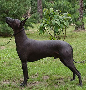 мексиканская голая собака (ксолоитцкуинтли) Текуани Ицамна