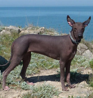 мексиканская голая собака (ксолоитцкуинтли) Текуани Мелестина