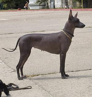 мексиканская голая собака (ксолоитцкуинтли) Fame Factory's Too Good To Be True