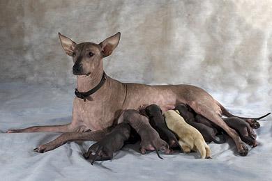 ксолоитцкуинтли (мексиканская голая собака) щенки