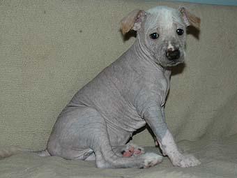 щенок мексиканской голой собаки (ксолоитцкуинтли)