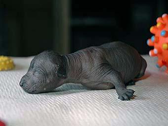 щенки мексиканской голой собаки (ксолоитцкуинтли)