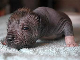 щенки ксолоитцкуинтли (мексиканской голой собаки)