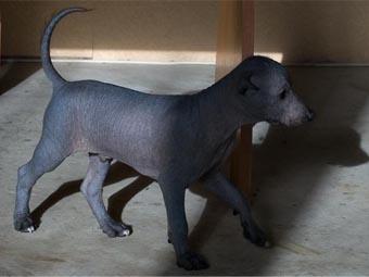 щенок мексиканской голой собаки