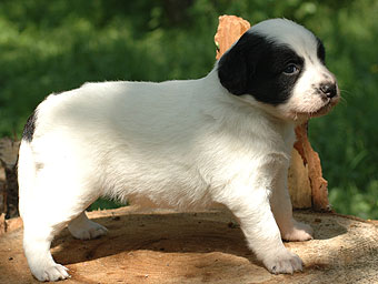 щенок ксолоитцкуинтли