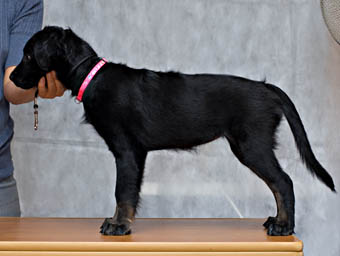 xoloitzcuintle puppy