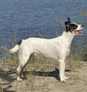 мексиканская голая собака (ксолоитцкуинтли) Текуани Гала Пелуда