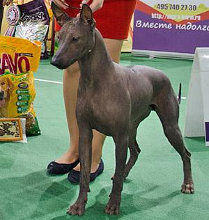мексиканская голая собака (ксолоитцкуинтли) Текуани Кастель