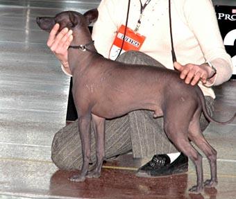 мексиканская голая собак