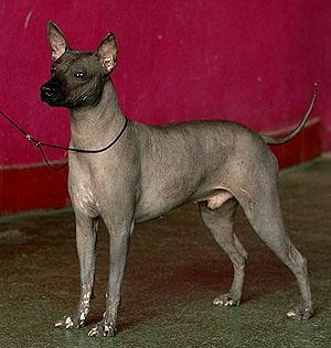 мексиканская голая собака (ксолоитцкуинтли) Центавр Айгер Обесса