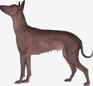 питомник ксолоитцкуинтли (мексиканских голых собак) Текуани